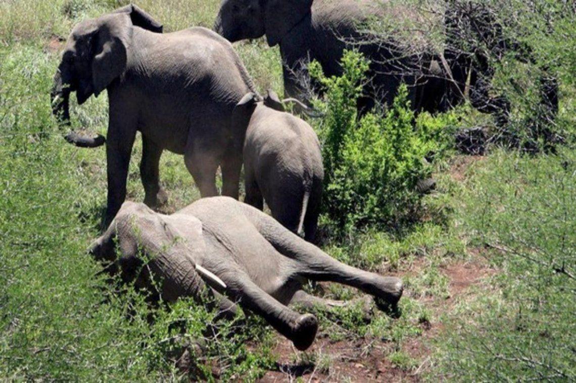 Tristeza en el mundo: intriga la extraña muerte de 150 elefantes en Bostwana