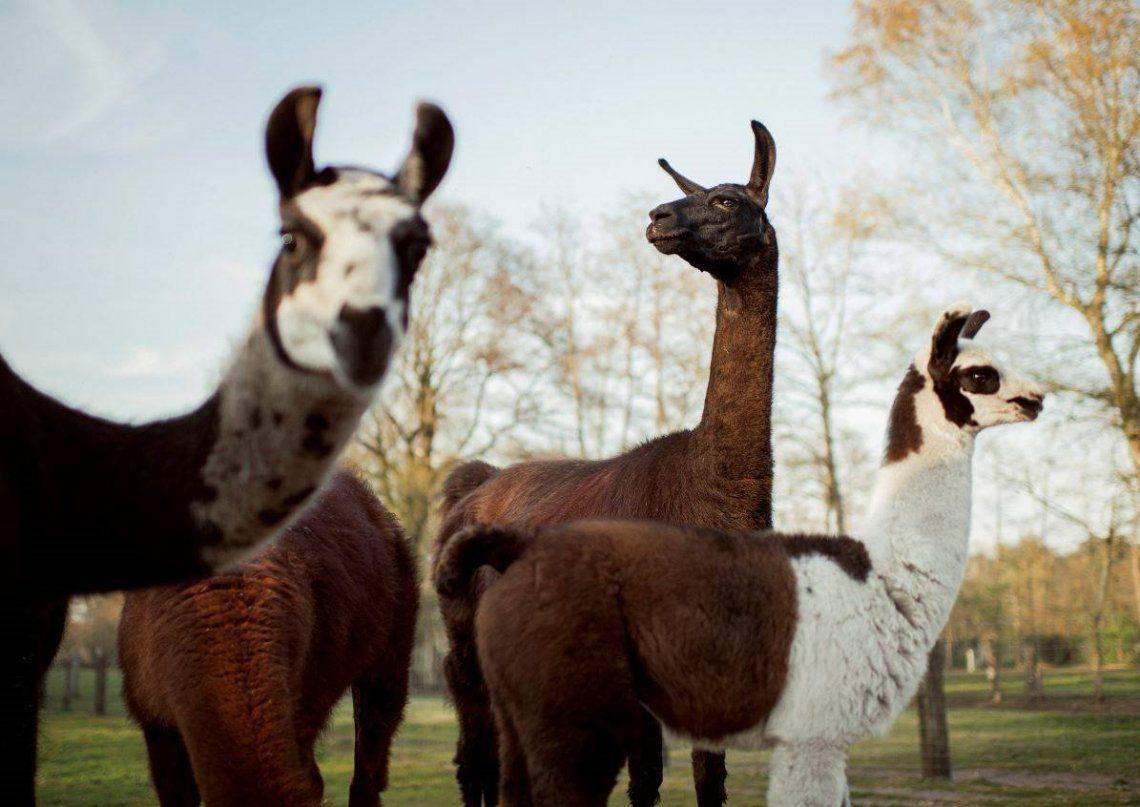 Coronavirus en Argentina: investigan la propagación en llamas, guanacos, alpacas y vicuñas