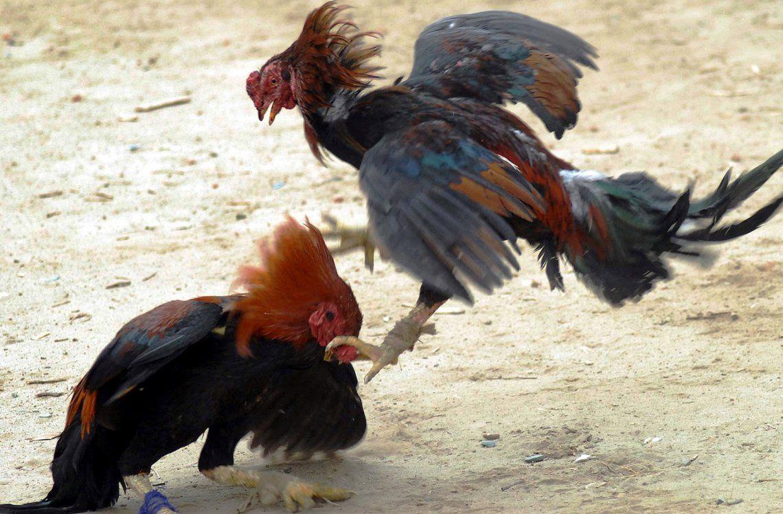 Detuvieron a 40 personas en plena riña de gallos por maltrato animal y violación de cuarentena