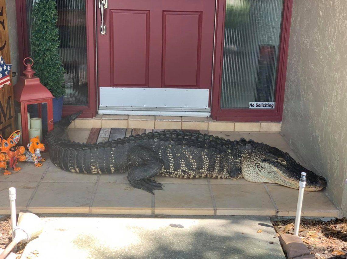 Matrimonio descubre a un cocodrilo de casi 3 metros en la puerta de su casa