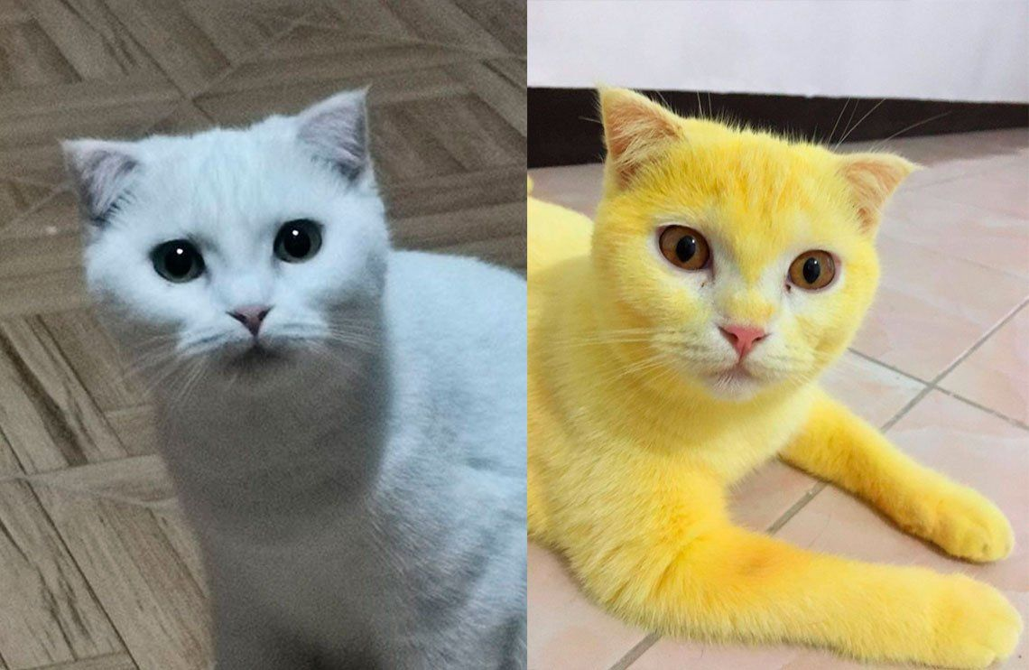 Un gato se puso amarillo después de recibir un tratamiento por una infección