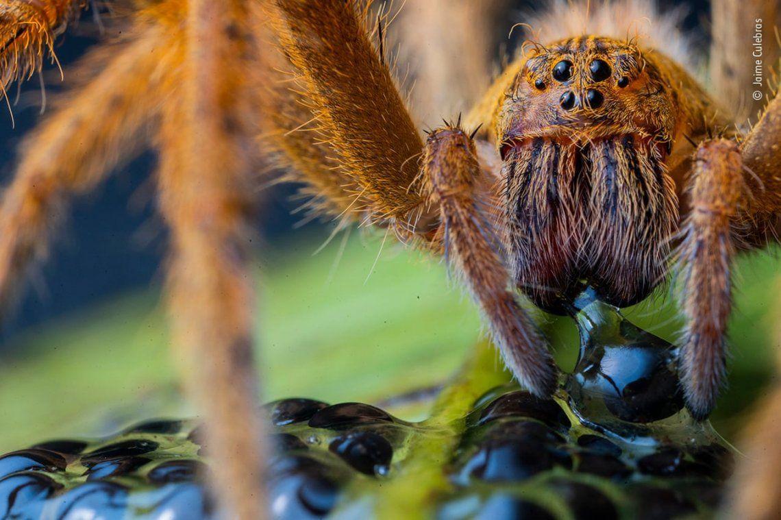La cena de la araña por Jaime Culebras
