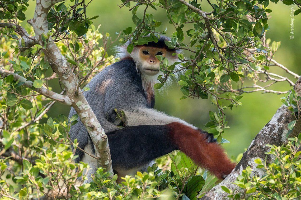 Treetop douc por Arshdeep Singh