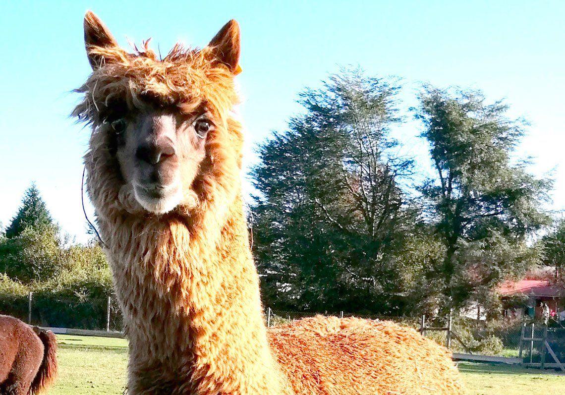 Como Argentina con las llamas, Chile apuesta a las alpacas para combatir el coronavirus