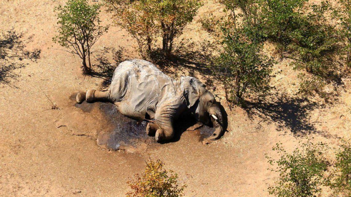 Qué hay detrás la muerte de más de 300 elefantes en Botsuana