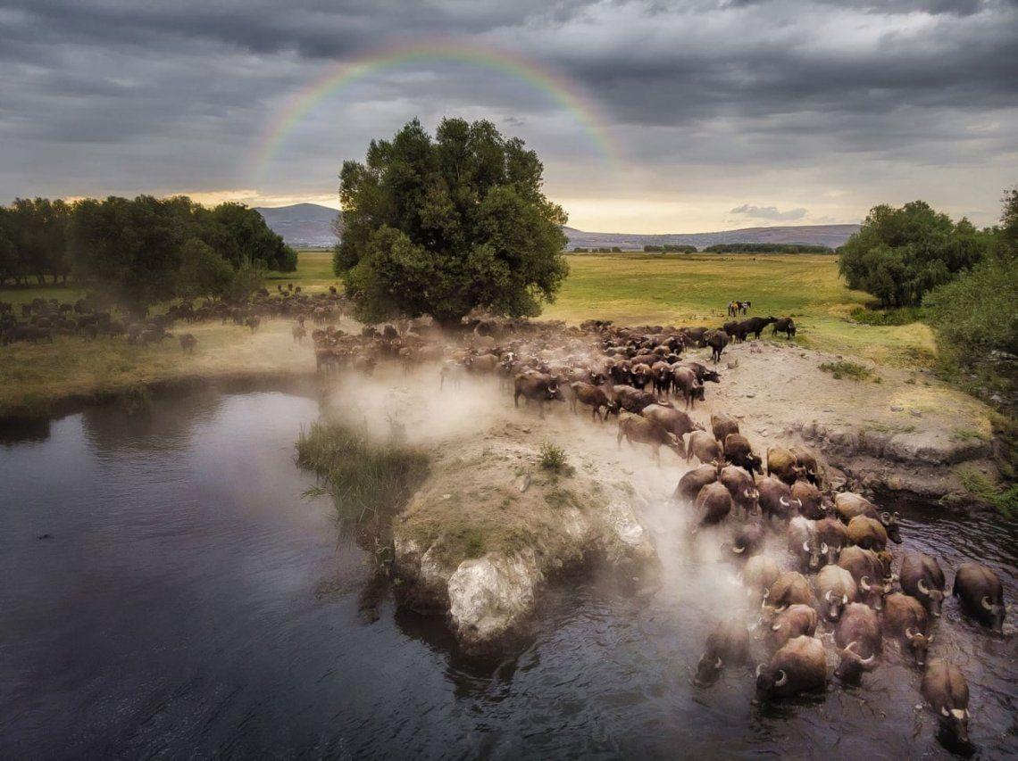Una manada de búfalos en Turquía que pasa por un lago antes. Fotografía: Mehmet Aslan