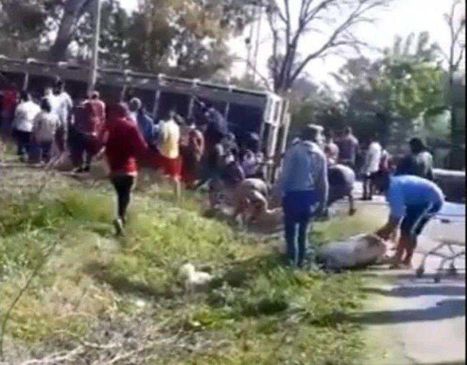 Pilar: volcó un camión con cerdos y los vecinos los carnearon en la calle