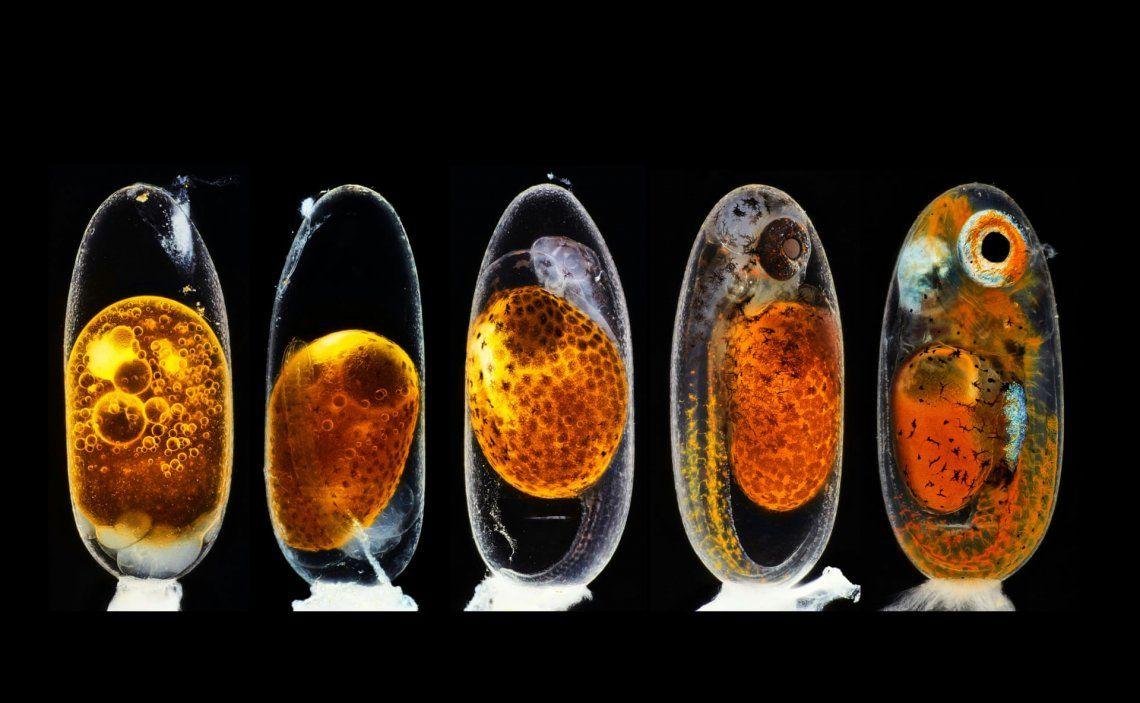 2do lugar | Daniel Knop | Desarrollo embrionario de un pez payaso