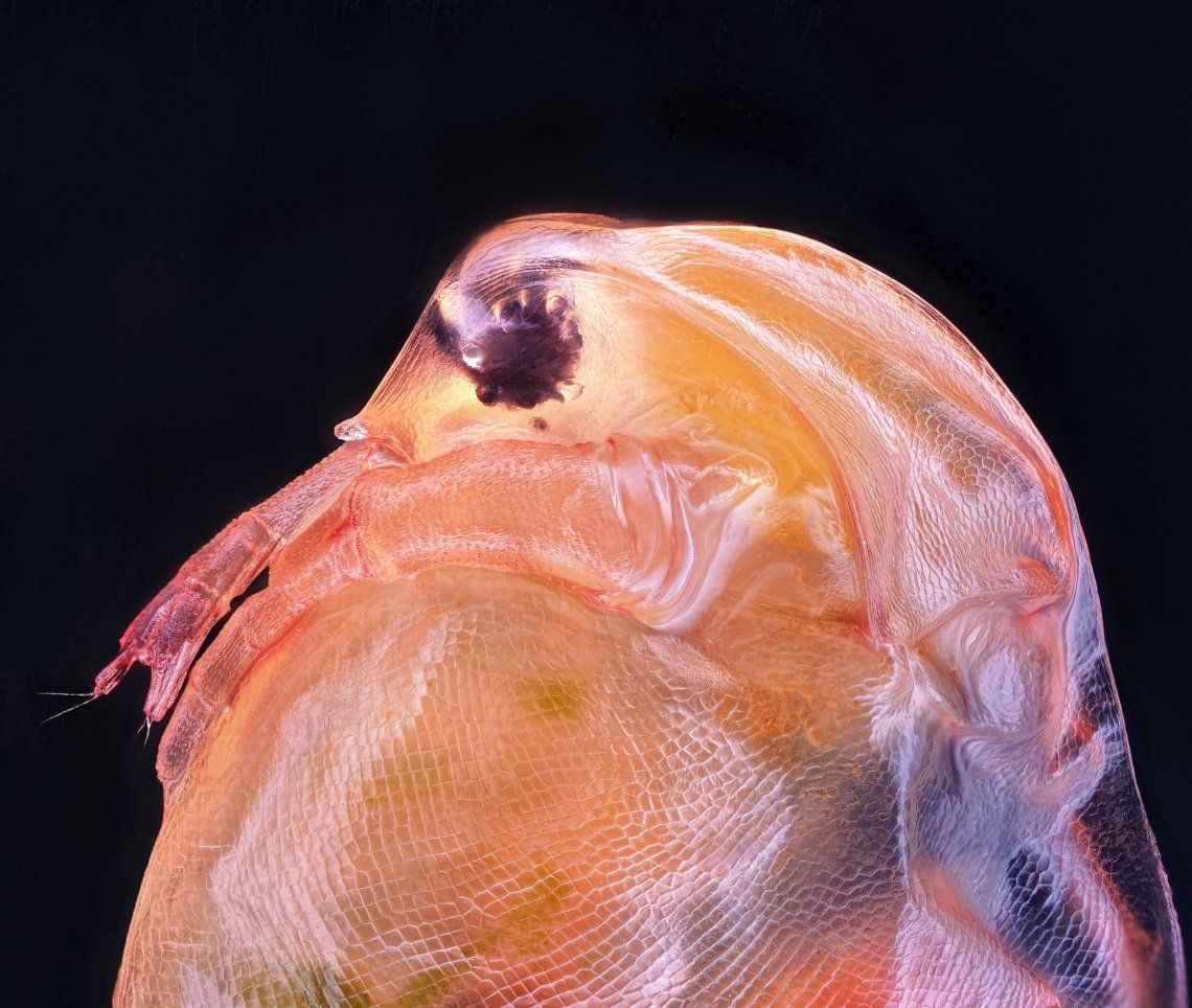 10º puesto | Ahmad Fauzan | Daphnia magna ( Phyllopoda )