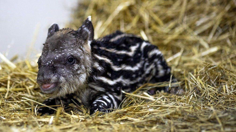 Ecoparque: Nació Jacinto, un  tapir macho de 4,18 kilos