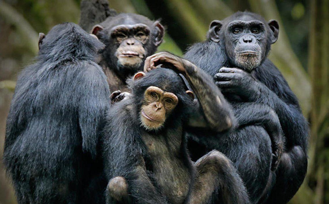 Los chimpancés se vuelven más selectivos con los amigos en la vejez