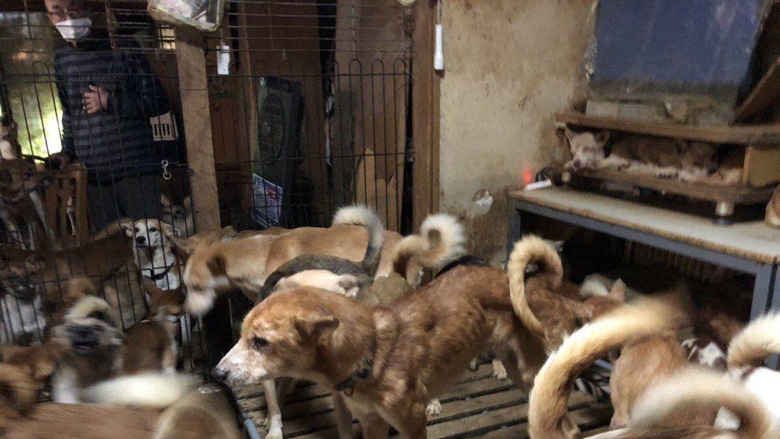 Japón: rescatan a 164 perros en condiciones deplorables encerrados en 30 metros cuadrados