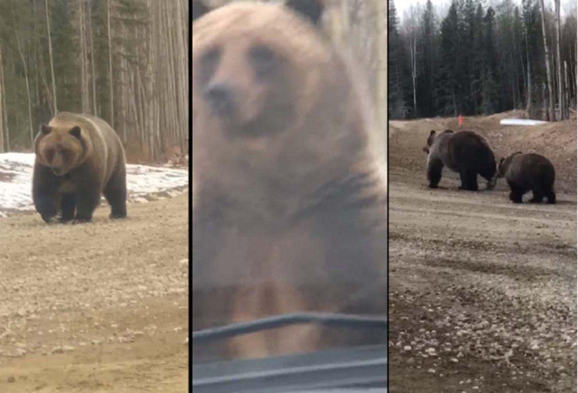 Canadá: una mamá osa les muestra sus 2,5 metros de altura a unos cazadores