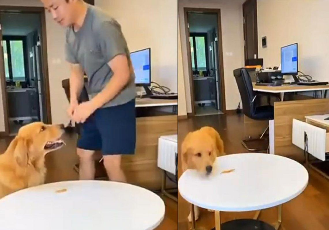 Mundo Animal: Golden Retriever engaña a su dueño para comer otra golosina sin su permiso
