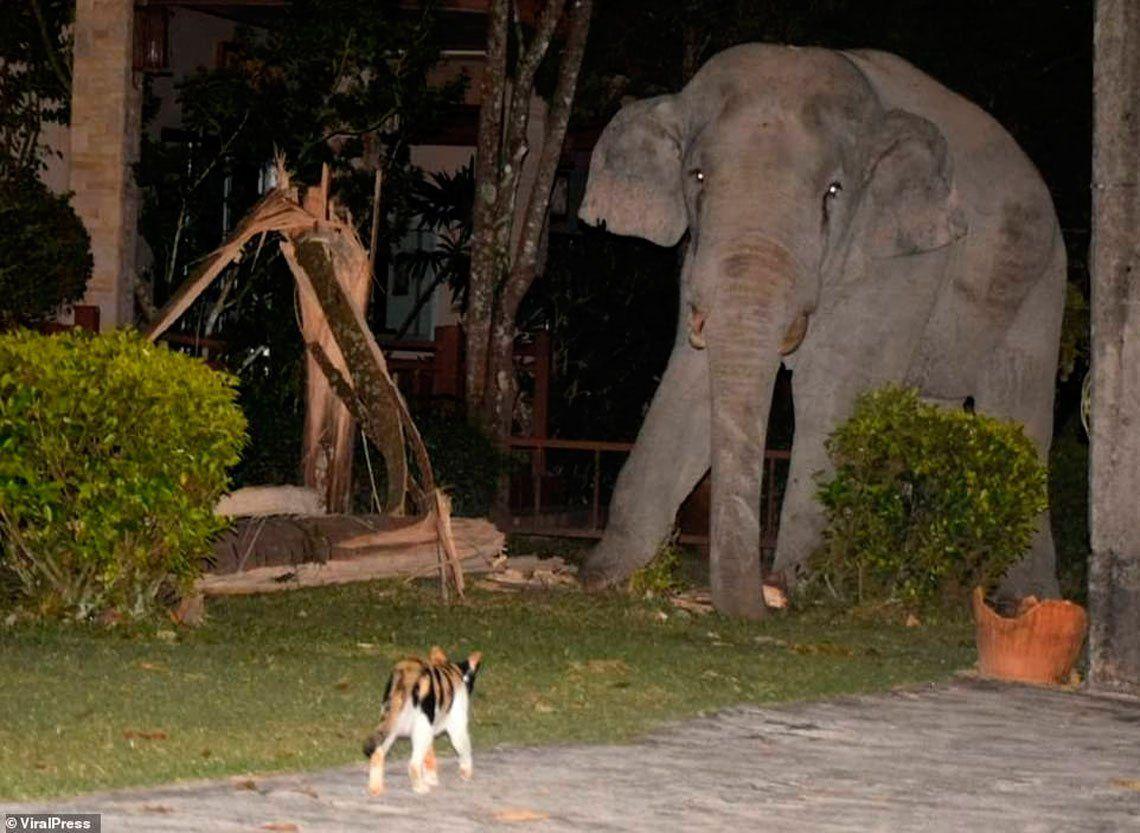 Tailandia: gato echa a un elefante que se metió en su casa