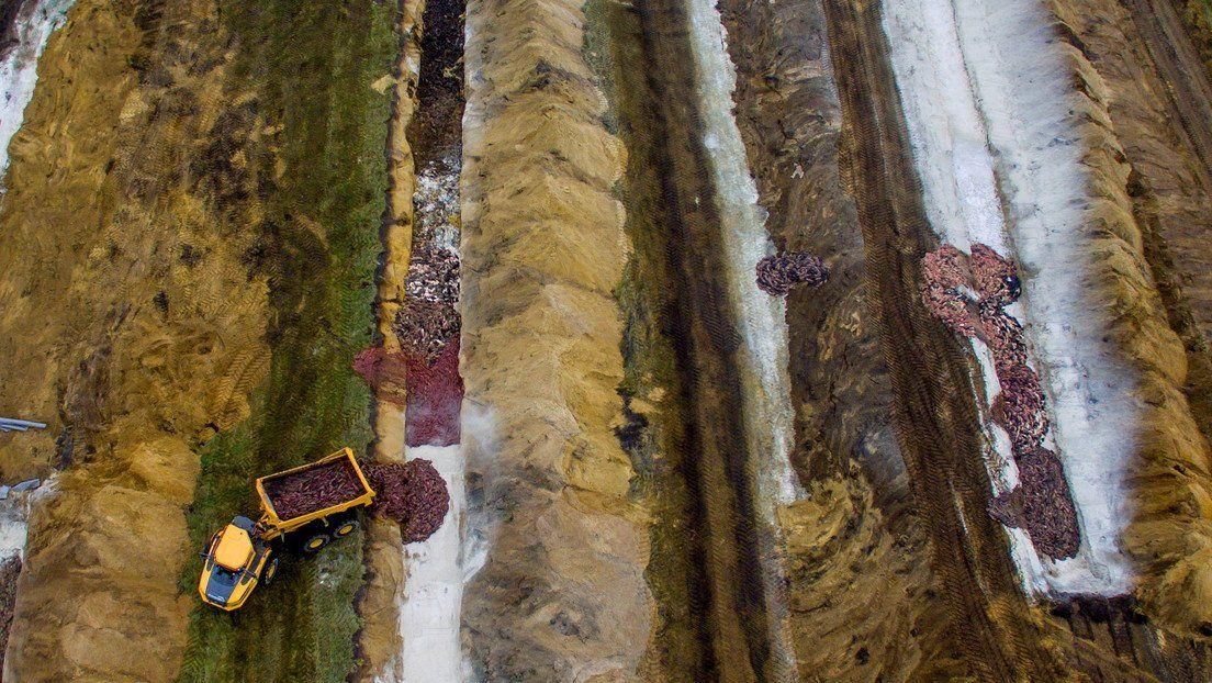 Cadáveres de visones siendo enterrados en Dinamarca