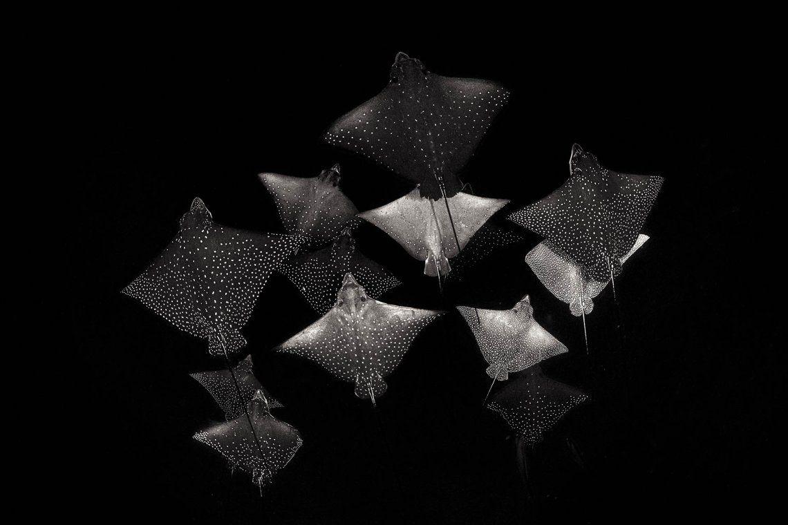 Ganador categoría blanco y negro: Henley Spiers | Constellation of Eagle Rays