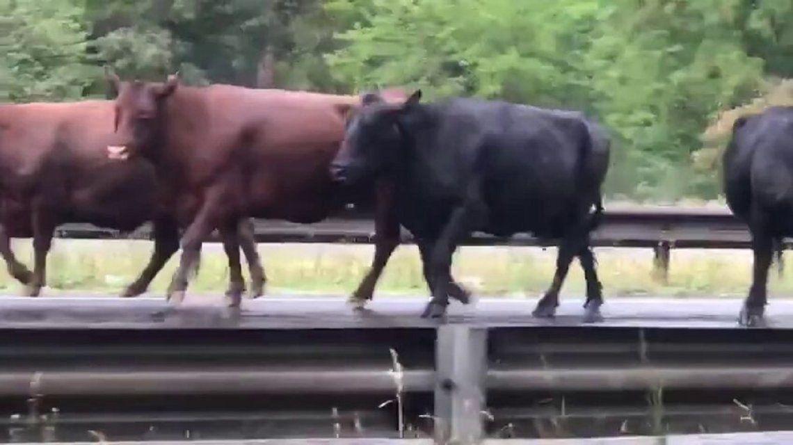 Vacas en la autopista.