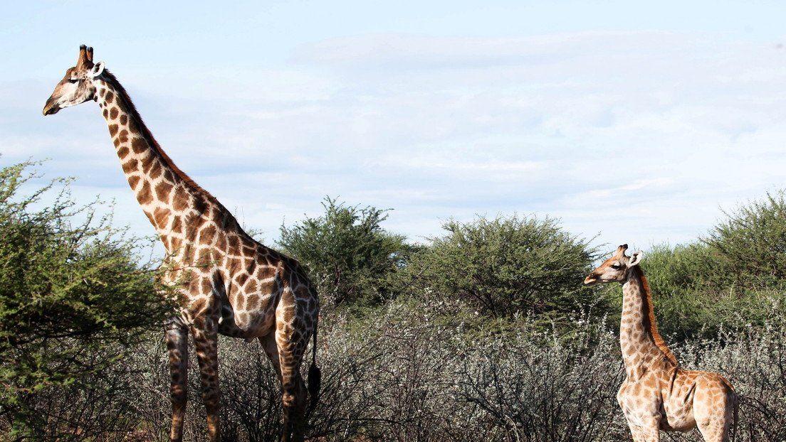 Dos jirafas enanas fueron halladas en Uganda