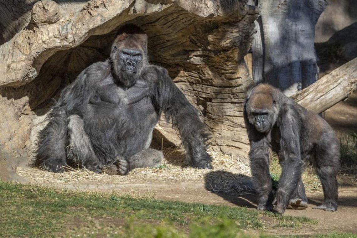 Gorilas con coronavirus en Estados Unidos