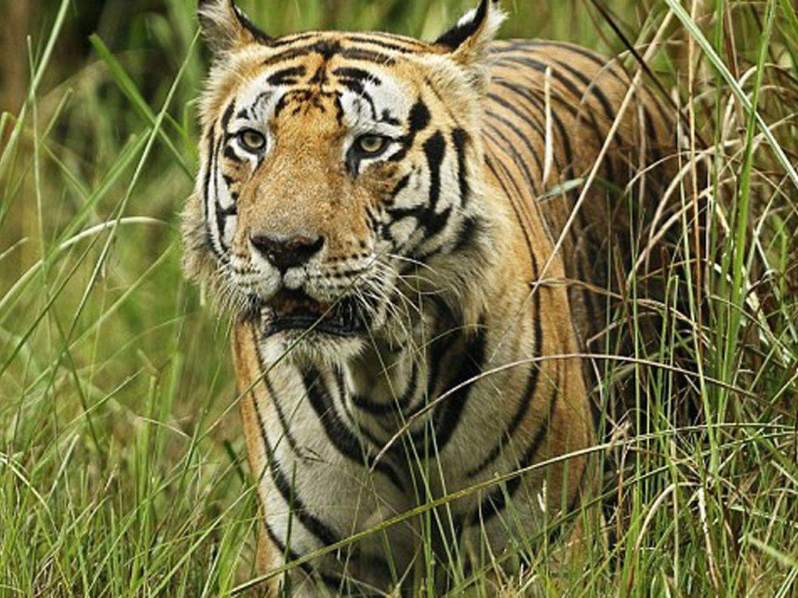 Los tigres de Bengala se encuentran catalogados como una especie en peligro de extinción