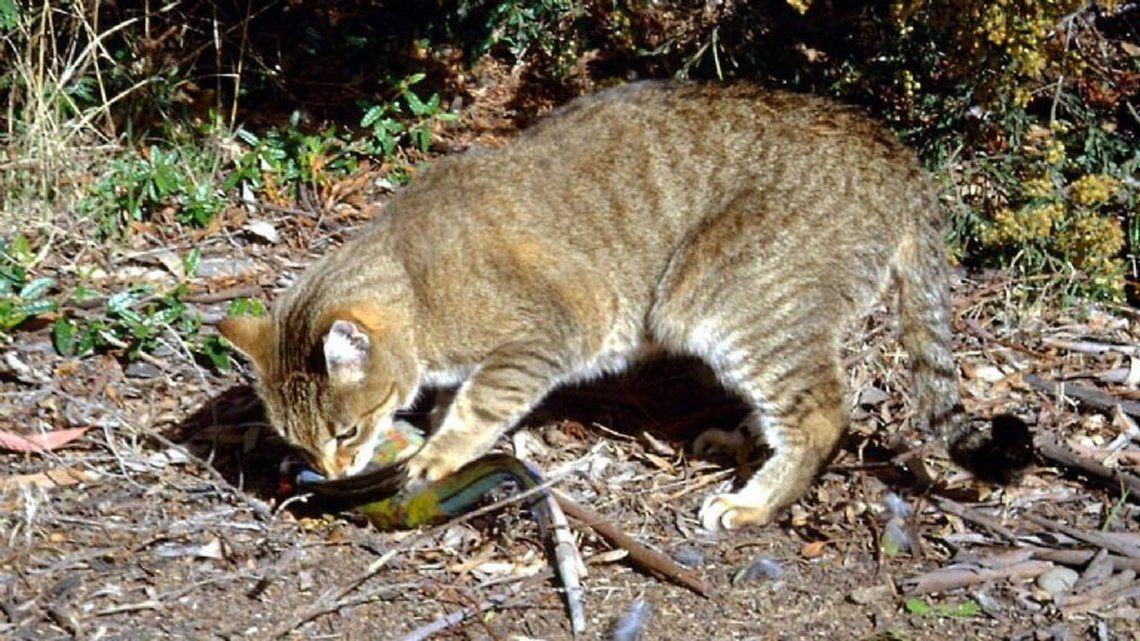 Exterminarán gatos salvajes en Australia.