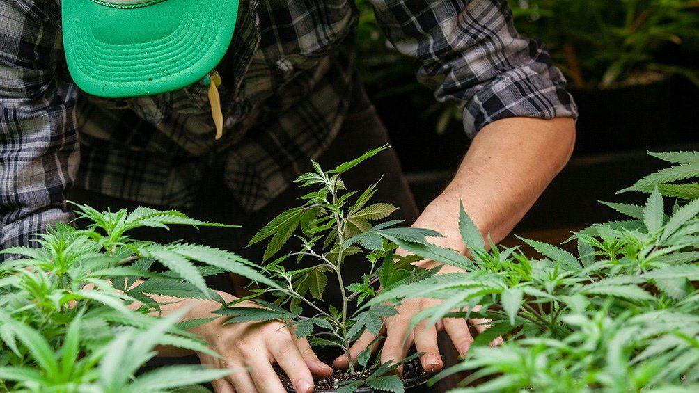 Cannabis: cultivo para investigación.