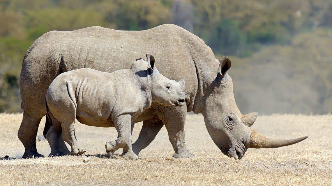 Sudáfrica: Incautan 63 kg de cuernos de rinoceronte.