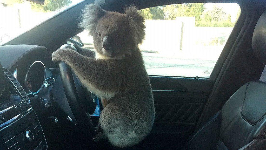 Australia: koala