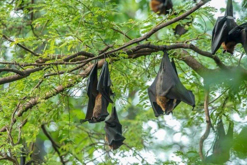 Coronavirus hallado en murciégalos en Tailandia.
