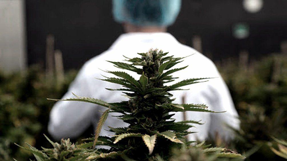 El objetivo del acuerdo es acelerar el desarrollo técnico y tecnológico del mercado de cannabis medicinal e industrial.