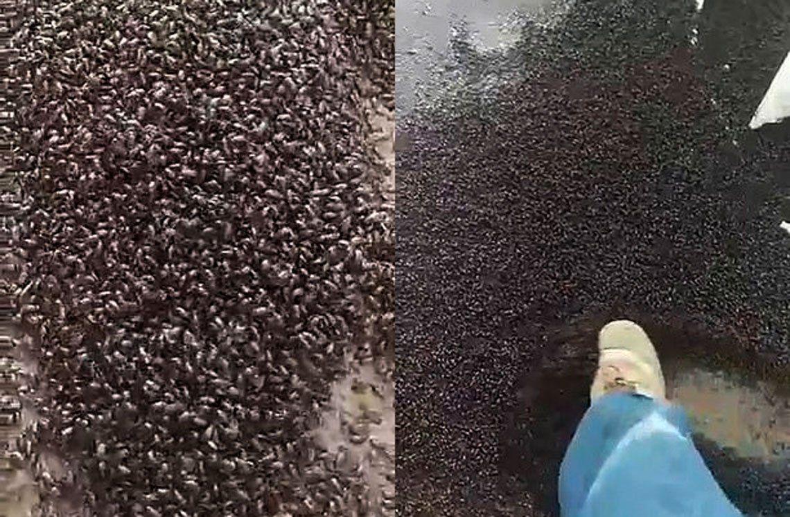 Australia: terror por invasión de millones de escarabajos