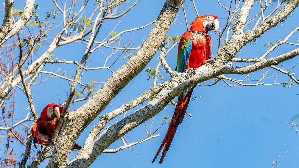 Una veintena de guacamayos rojos vuelan nuevamente por la provincia de Corrientes.