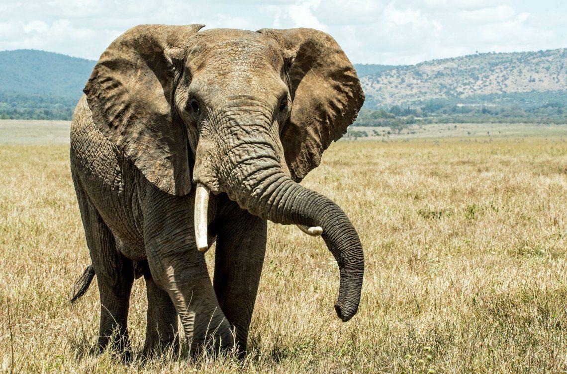 Tailandia: elefante reconoce al veterinario que le salvó la vida hace 12 años