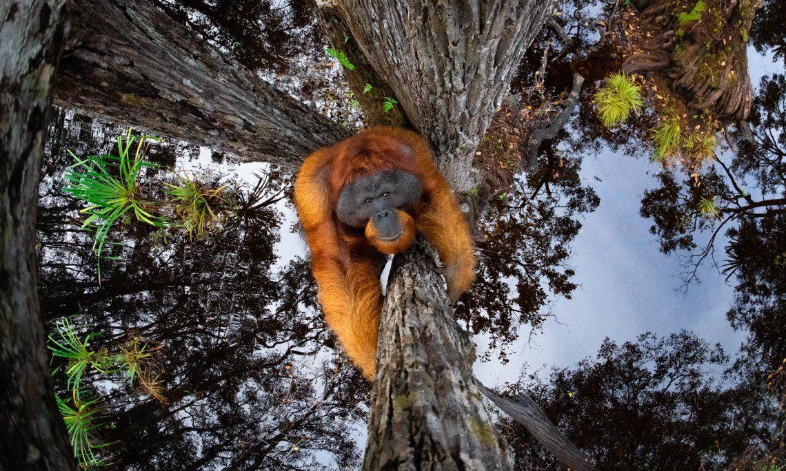 Orangután de Borneo (Pongo pygmaeus). Parque Nacional Tanjung Puting