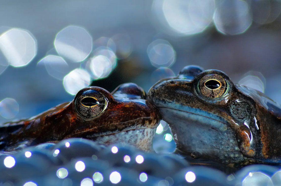 Dos ranas marrones comunes europeas
