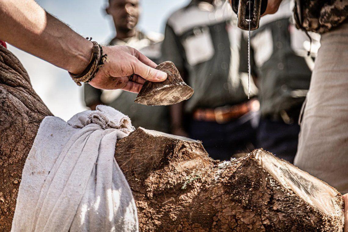 Un rinoceronte blanco está siendo descornado en Thanda Safari Game Reserve