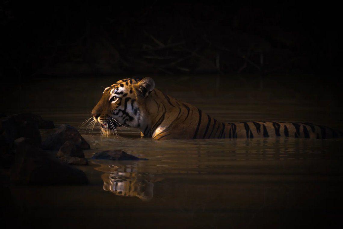 Hora del baño. Tigresa de Bengala. Reserva de tigres de Tadoba Andhari