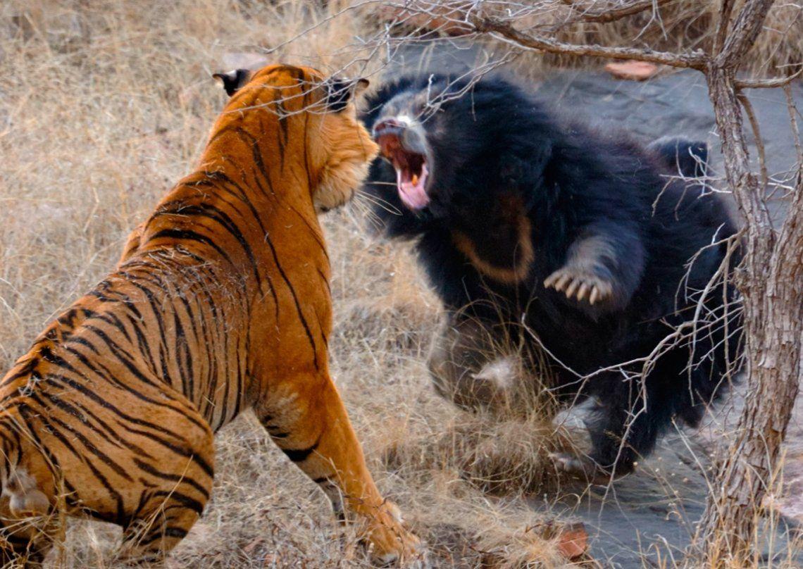 India: osa se enfrentó a dos tigres que se estaban apareando