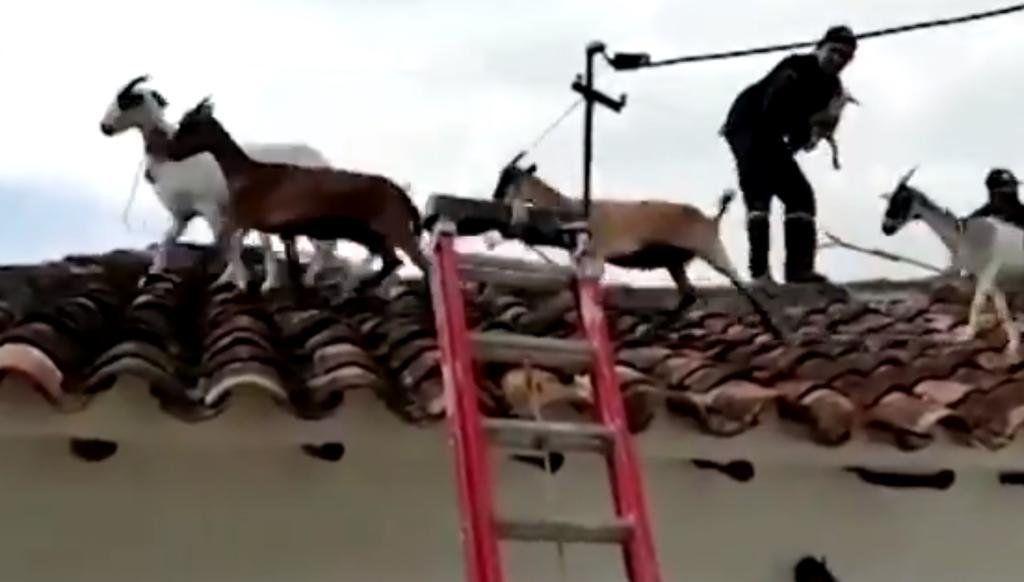 Colombia: bomberos bajan a cabras de un techo.