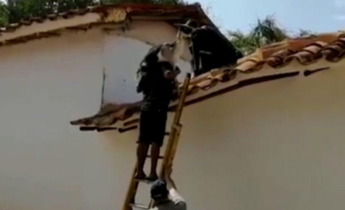 Colombia: las cabras fueron rescatadas por bomberos.