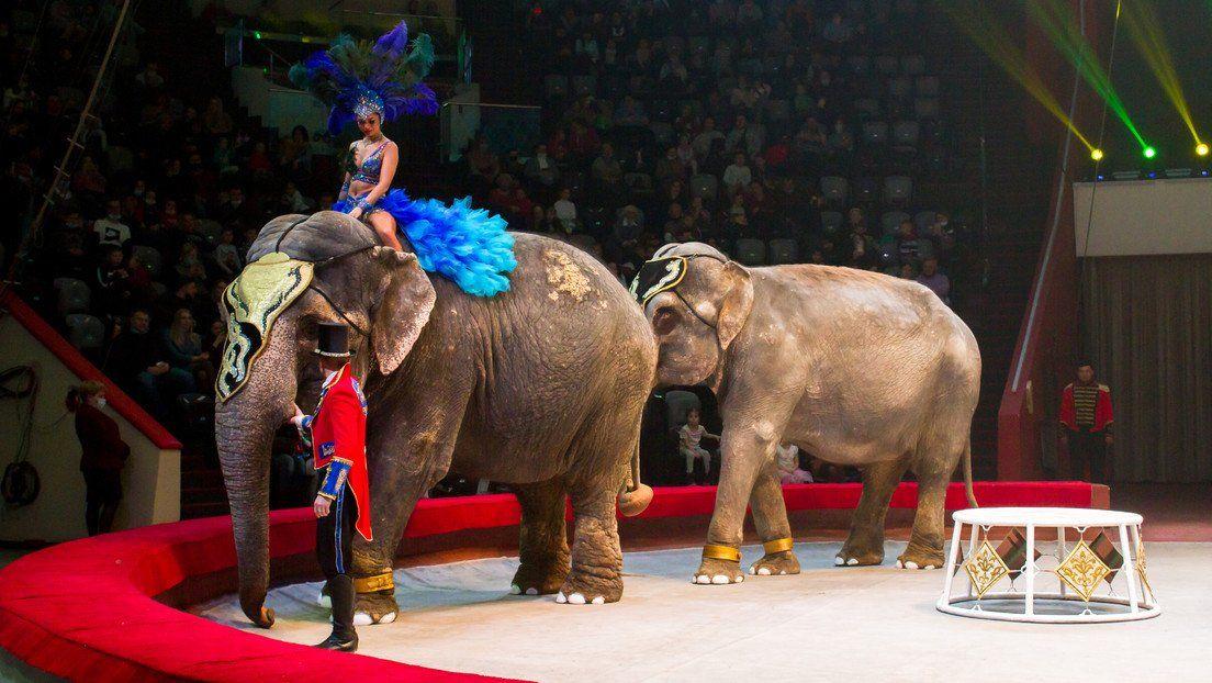 Rusia: elefantes se pelean en el circo.