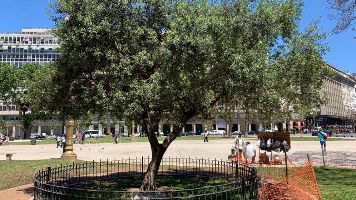 El olivo que plantó el papa Francisco en la Plaza de Mayo cumple 21 años