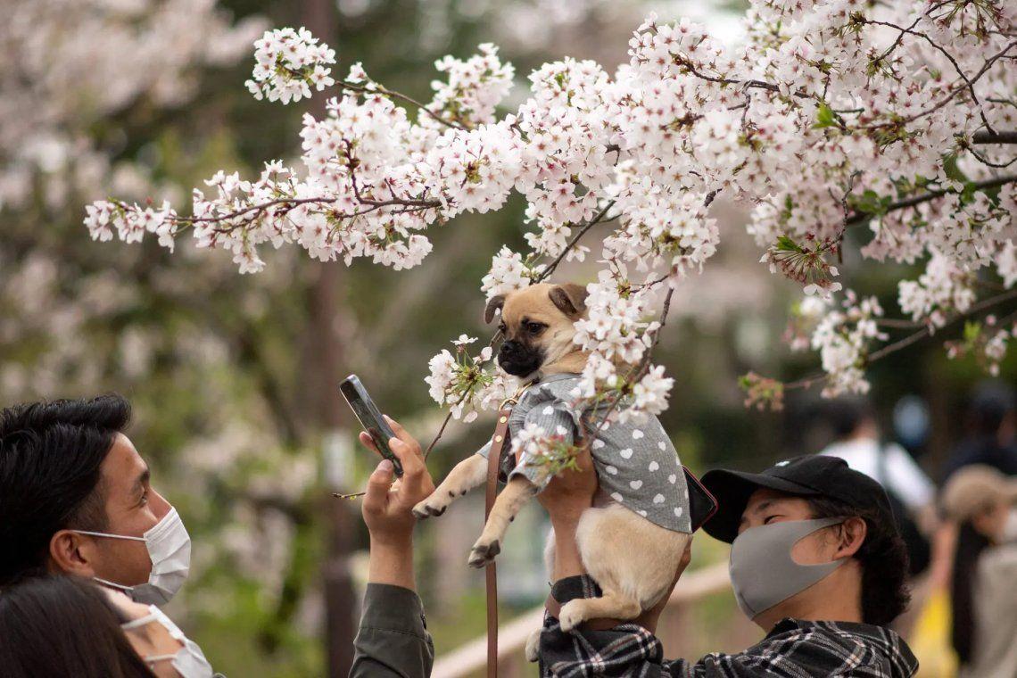 Japón: los cerezos florecieron antes que nunca en 1.200 años