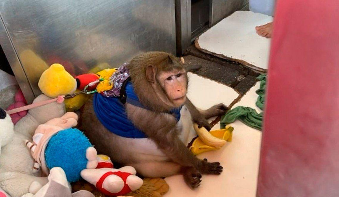Tailandia: rescatan al mono Godzilla y lo mandan a hacer dieta