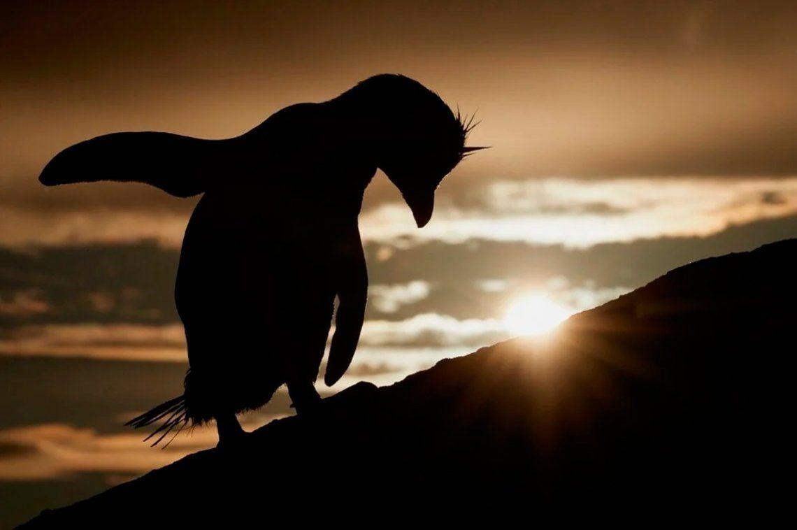 Pingüino penacho amarillo del sur