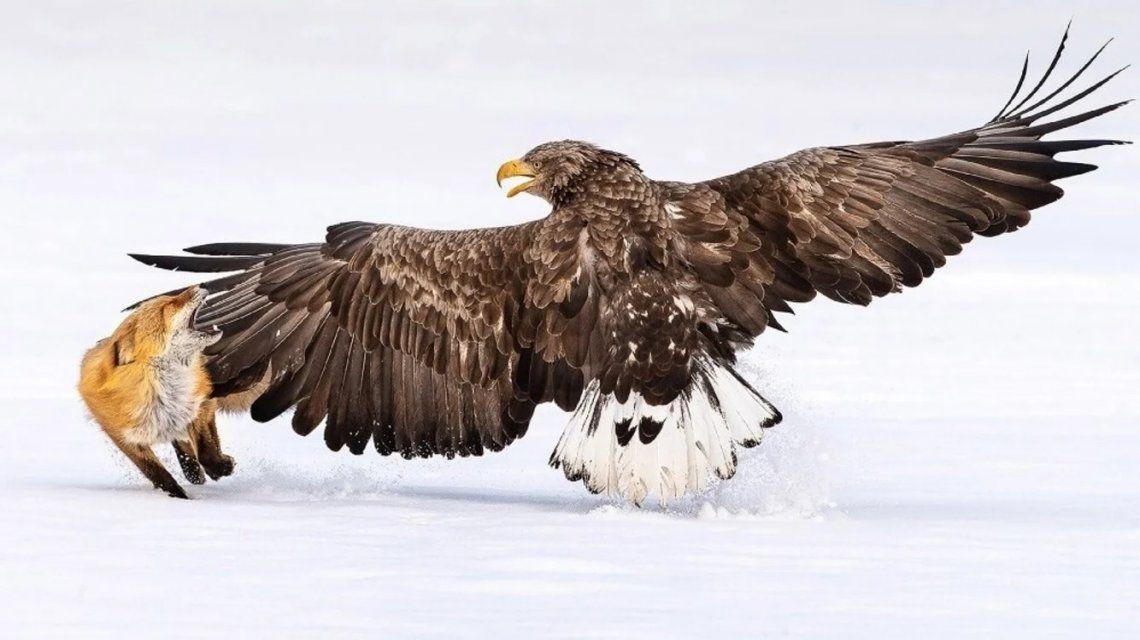 Águila de mar de cola blanca