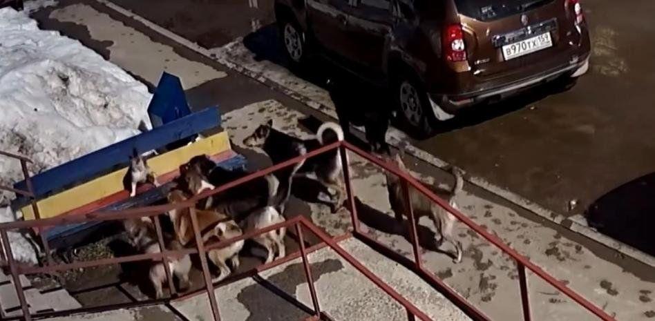 Rusia: un gato le hizo frente a varios perros.