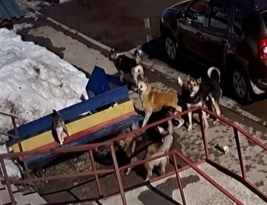 Rusia: una valiente gato venció a unos perros.