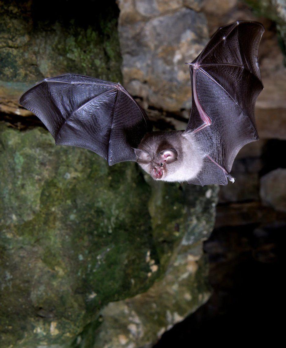 El ganador del primer premio de este año fue la impresionante fotografía de Daniel Whitby de un murciélago de herradura menor.Fotografía: Daniel Whitby